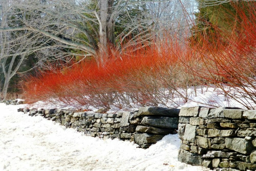Red Twig Dogwood for Winter