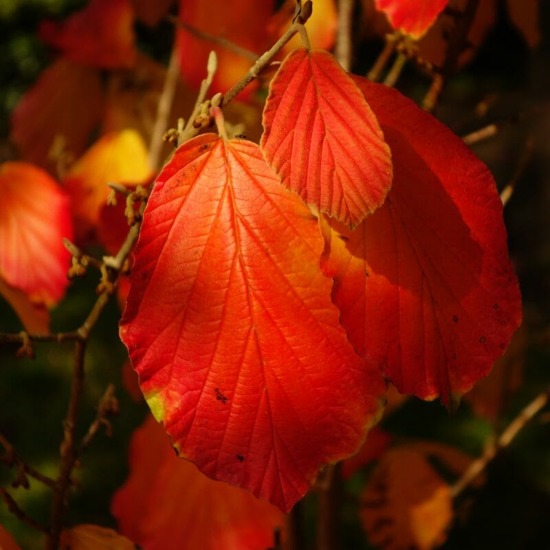 Shrubs for Fall Colors